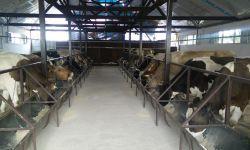 Молочная ферма порядка 100 голов