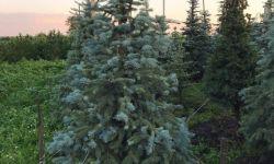 Питомник крупномеров с хвойными деревьями