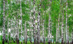 Лесхоз с правом аренды лесного участка
