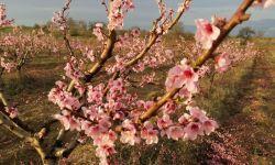 Продам персиковый сад 8 га